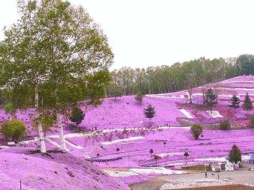 藻琴山芝桜公園