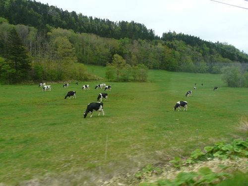 牛ものんびり